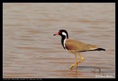 Red Watled Lapwing