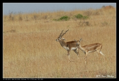 Blackbuck