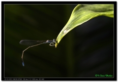 Bule Damsel Fly