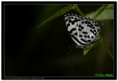 Common Perrot Butterfly